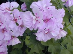 geraniums pictures | WHAT IS HAPPENING
