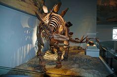 Stegosaurus, Field Museum of Natural History, Chicago, IL. © Mark Ryan