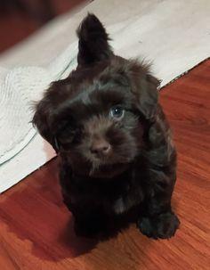 Shitzu Puppies, Shih Tzu Puppy, Havanese, Dogs, Animals, Baby Shih Tzu, Animales, Animaux, Pet Dogs