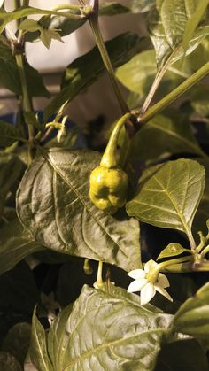My first moruga scorpion fruiting! #gardening #garden #DIY #home #flowers #roses #nature #landscaping #horticulture