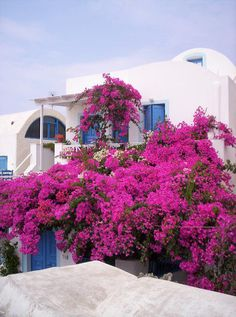 Note to self: Live somewhere where bougainvillea grows like this!
