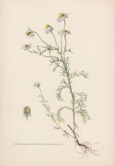 Botanical Print Chamomile Matricaria by AntiquePrintGarden on Etsy
