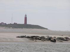 Het lijkt wel of ze op het strand bij de vuurtoren liggen, maar dat is bedrog. Deze zeehonden liggen op een zandbank tussen Texel en Vlieland.