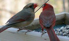 northern cardinal bird house plans