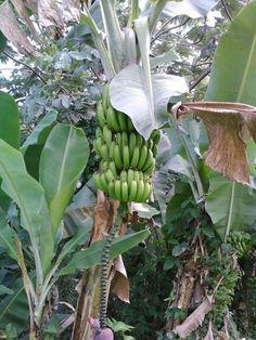 Banana plant in Puerto Rico