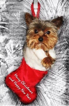 Australian Silky Terrier Puppy Dogs Look Like Yorkie But