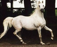 Salaa El Dine {Ansata Halim Shah x Hanan by Alaa El Din} x Ghazala {Ghazal x Hanan by } Züchter: Dr. Horse Pictures, Animal Pictures, Horse Online, Egyptian Arabian Horses, Horse Coat Colors, Arabian Stallions, Arabian Beauty, Horse World, White Horses
