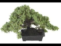 How to Make a Dying Bonsai Plant Come to Life - Healthy Plants Conifer Trees, Deciduous Trees, Trees And Shrubs, Juniper Bonsai, Bonsai Tree Care, Bonsai Trees, Indoor Plants, Indoor Outdoor