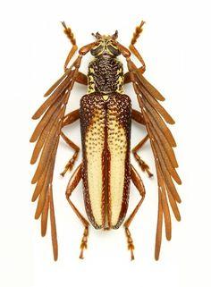 Feather horned Longicorn