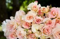 Seduction Rose