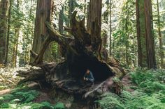 Redwood NP, Trees of Mystery, and Avenue of the Giants, CA. May 2015