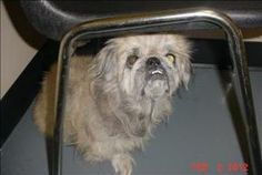 12-02-0420 is an adoptable Pekingese Dog in Dallas, GA.  Primary Color: Tan Secondary Color: Grey Age: 0yrs 0mths 0wks  Animal has been Neutered...