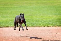 Hover-dog! Annie the greyhound turns up the speed.