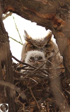 Great Horned Owls at home :)