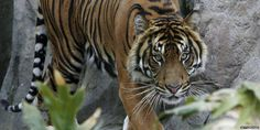Tiger which killed keeper at New Zealand zoo will not be put down http://bbc.in/1OoKAQF