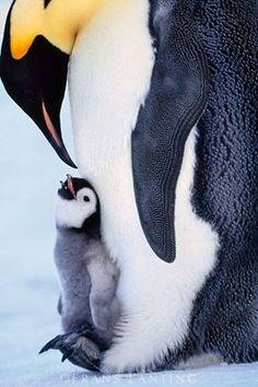 O filhote do pinguim imperador fica assim protegido pelo pai até que todas as penas estejam crescidas. A partir daí os pais ensinam os filhotes como nadar. A proteção deles afasta a predação dos filhotes através de ataques de gaivotas.  Foto de Frans Lating