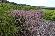 Chamelaucium 'Sweet Rosie' Geraldton Wax Flower.