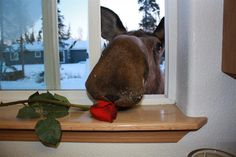 """This guy tried to eat a silk rose. The lady (who is the homeowner) feeds the wild moose regularly. She said - """"no more feeding moose for a while"""" Moose Pics, Moose Pictures, Funny Animal Pictures, Cute Baby Animals, Animals And Pets, Funny Animals, Beautiful Creatures, Animals Beautiful, Moose Decor"""