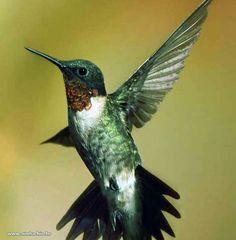 beija-flor batendo asas                                                                                                                                                                                 Mais