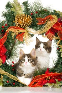 Maine Coon cats at Christmas