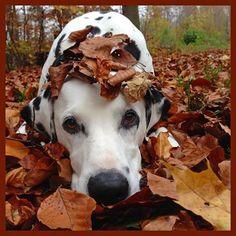Stealthy dalmatian.... ~ LOL How cute!