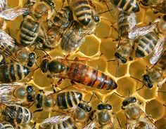 Without combating the varroa mite, a bee colony can die within one to three years. Honeybees are therefore dependent on varroa control. But which treatment is the best? Bee Do, Big Animals, Plant Species, Save The Bees, Busy Bee, Bees Knees, Bee Keeping, World, Queens