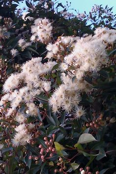 Corymbia ficifolia 'Snowflake™' - Grafted White Flowering Gum - Botanix - Product | ODS