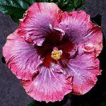 Hibiscus 'Allure'