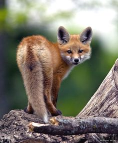 Red fox kit by William Wiley