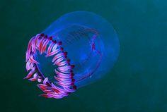 Bell Medusa? Jellyfish