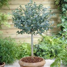 This superb evergreen Eucalyptus has been skilfully fashioned into a standard tree by expert nurserymen to give a superb plant Indoor Trees, Potted Trees, Trees And Shrubs, Trees To Plant, Indoor Plants, Garden Trees, Garden Plants, House Plants, Gardens