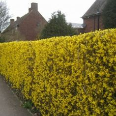 Forsythia Hedge | Forsythia Lynwood Gold