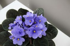 African Violets Best4Garden Online Garden Products Window Plants, Christmas Plants, Best Christmas Presents, African Violet, Cool Gifts For Women, Unique Presents, Garden Gifts, Pretty Flowers, House Plants