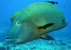 The Napolean Wrasse is threatened by overfishing in Palau