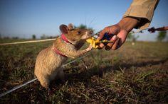 Una rata entrenada para detectar minas recibe como recompensa un trozo de banana tras detectar uno de estos artefactos en Siem Reap, Camboya (Taylor Weidman, 2015)