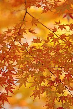 Autumn leaves - Japan