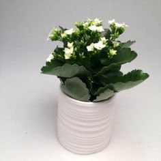 Flowering Kalanchoe - Ribbed Ceramic Planter