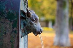 Bull Drinking Fountain with Stream of Water Pouring From Mouth in Turin - Italy -
