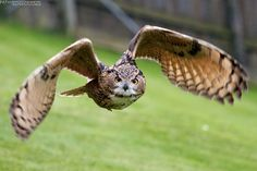 fliegender Uhu / flying eagle owl | Flickr - Photo Sharing!