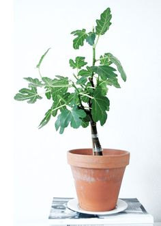 I want a figtree!