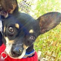 Cute Muttville mutt: Snickers 2199 (Chihuahua | Male | Size: toy (under 6 lbs))