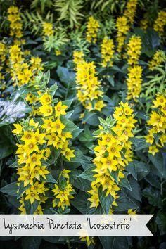 Lysimachia Punctata 'Loosestrife'  #gardening #flowers #plants