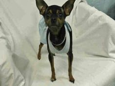 BUTTON (A1676315)I am a female black and tan Chihuahua - Long Haired.  The shelter staff think I am about 4 years old and I weigh 7 pounds.  I was found as a stray and I may be available for adoption on 02/04/2015. — at Miami Dade County Animal Services.