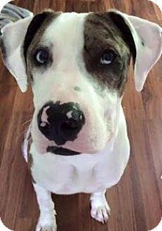 Baltimore, MD - Great Dane Mix. Meet Harrington, a dog for adoption. http://www.adoptapet.com/pet/13404810-baltimore-maryland-great-dane-mix