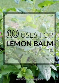 Lemon balm should definitely be included on your plant list this year. But because it grows so abundantly, you might be searching for ideas on how to put it to use. Here are 10 uses for lemon balm that you're sure to enjoy!