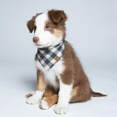 This sweet puppy look's even sweeter with the beautiful BANDANA Check Dark Blue - Beige Cute Dog Clothes, Cute Dog Outfits, Puppy Outfits, Puppy Bandana, Dog Sweaters, Pet Collars, Dog Coats, Dog Houses, Dog Accessories