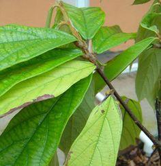 Trade Winds Fruit - Theobroma grandiflorum - Cupuassu, $3.50 (http://www.tradewindsfruit.com/theobroma-grandiflorum-cupuassu-seeds)