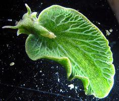 scinexx | Wandelndes Blatt am Meeresgrund: Eine Meeresschnecke als Chloroplasten-Dieb
