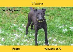 Poppy is a friendly little Patterdale Terrier from Ballymena who is around 1 yr old. She arrived with us after being found as a stray, so not much is known about her history. Mans Best Friend, Best Friends, Patterdale Terrier, Dogs Trust, 1 Year Olds, Fur Babies, Poppy, Adoption, Dads