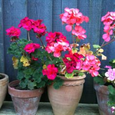 Geraniums make me smile